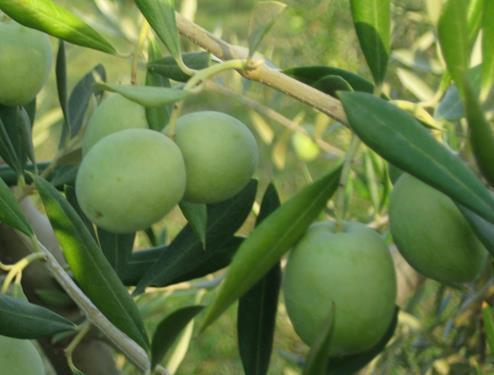 Pianta di olivo ascolana < olea europaea >online vivai il sorbo