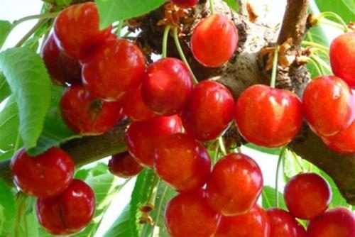 pianta di ciliegia big lory online
