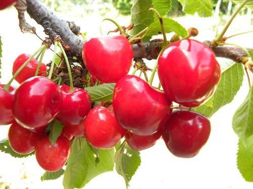 pianta di ciliegia bigarreau burlat online il sorbo
