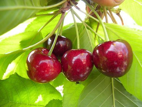 pianta di ciliegia vignola II online il sorbo