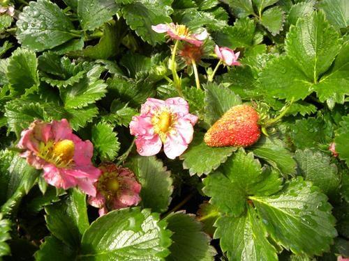 Pianta di fragola fragoo il sorbo vivai di antonio santini for Piante fragola vendita