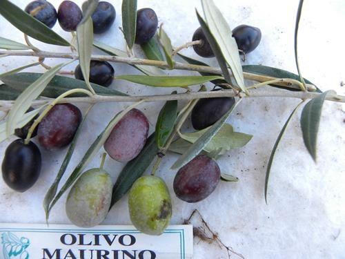 Pianta di olivo maurino online il sorbo