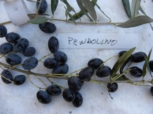 Pianta di olivo pendolino online il sorbo