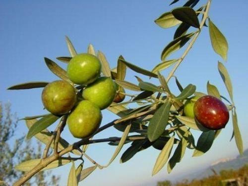 Pianta di olivo itrana online il sorbo