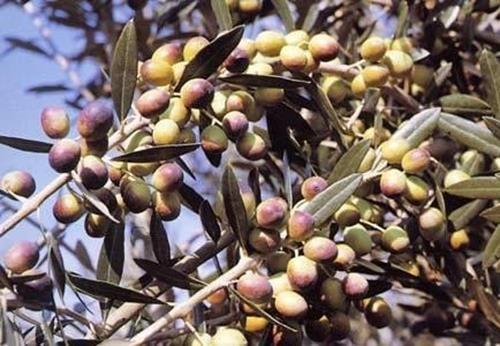 Pianta di olivo moraiolo online
