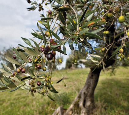 Pianta di olivo nostrale di rigali online il sorbo