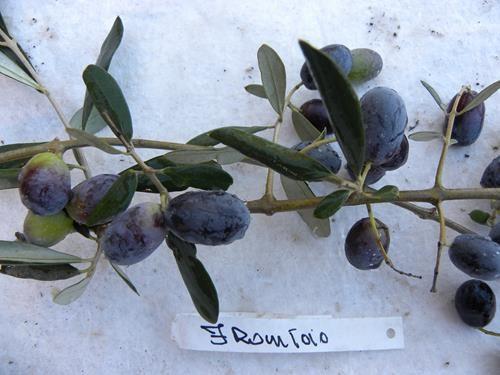 Pianta di olivo frantoio online il sorbo
