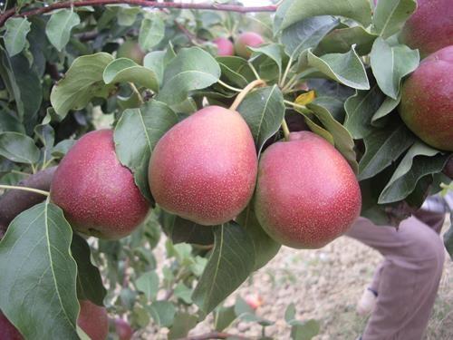 Pianta di pera cocomerina (o briaca) autunnale online