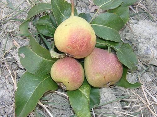 Pianta di pera bucarina online