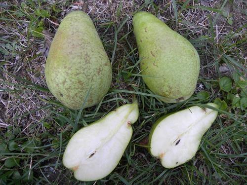 Pianta di pera spadona invernale on line il sorbo