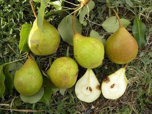 Pianta di pera san girolamo online