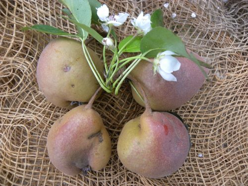 Pianta di pera fratona o ruggine di Pennabilli online