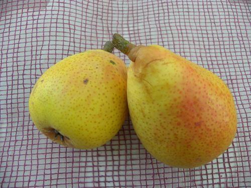 Pianta di pera dei castagneti online