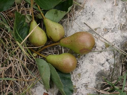 Pianta di pera longhina online