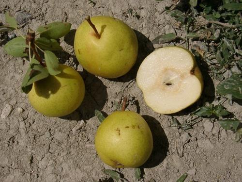 Pianta di pera perola online