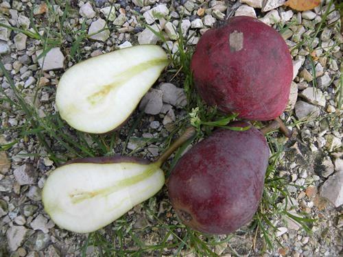 Pianta di pera rubbia online