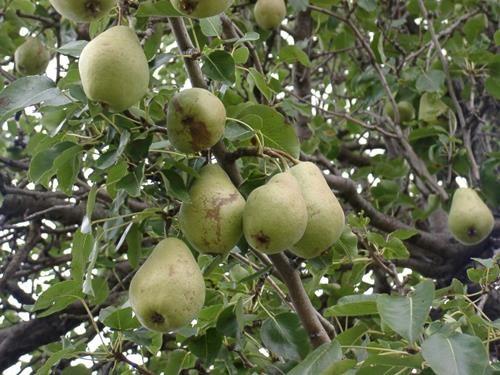 Pianta di pera strozza online