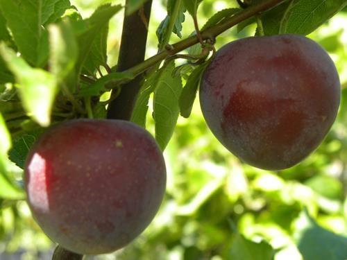 pianta di susina ciliegia online il sorbo