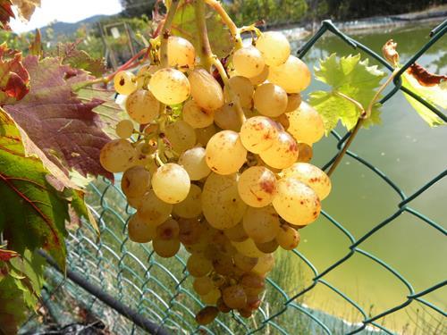 Pianta di uva apirena bianca il sorbo vivai di antonio santini - Potatura uva da tavola ...