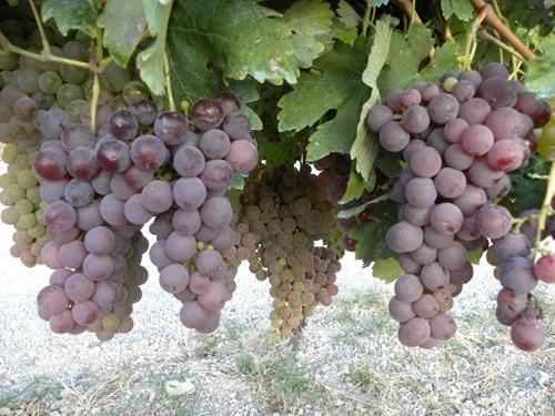 Pianta di uva bocciolone nero < vitis vinifera > online vivai il sorbo