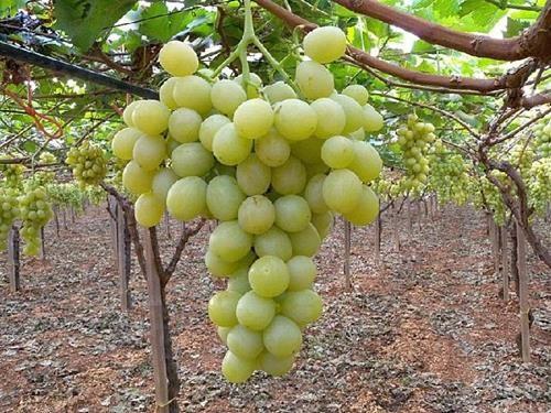 Pianta di uva italia online il sorbo