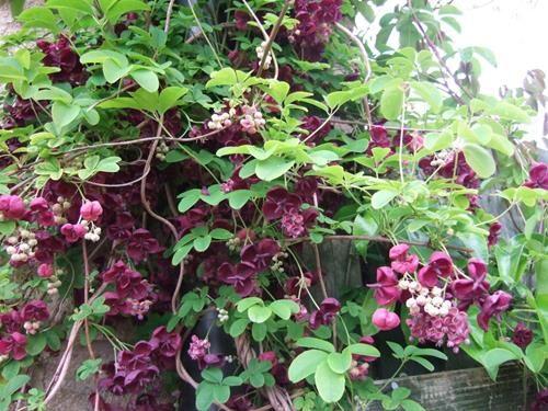 pianta di akebia quinata online il sorbo