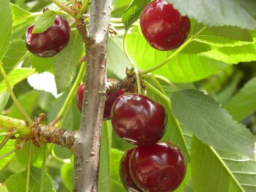 pianta di ciliegia amarena online