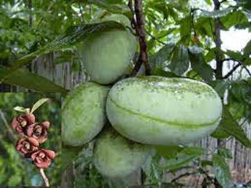 pianta di banano di montagna asimina triloba online il sorbo