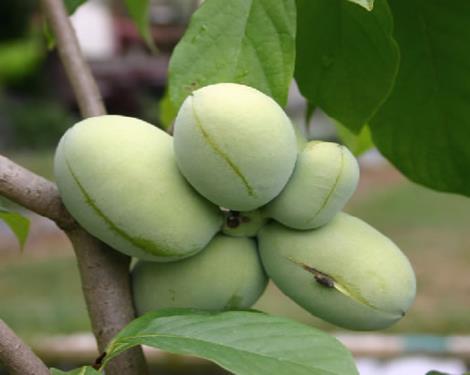 pianta di banano di montagna < asimina triloba > online il sorbo