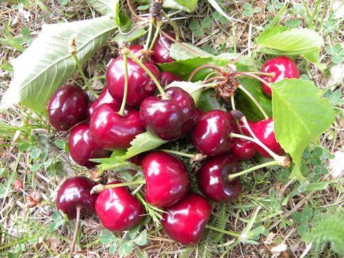 pianta di ciliegia durona vignola I online il sorbo