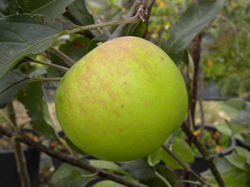 pianta di mela appia online