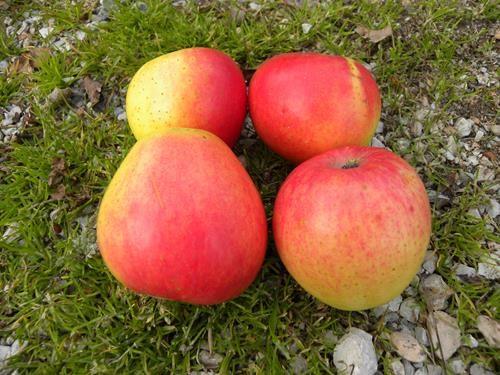 pianta di mela arancio online
