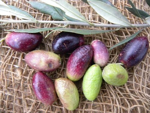 Pianta di olivo capolga online il sorbo