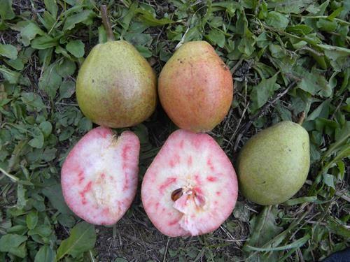 Pianta di pera cocomerina (o briaca) online