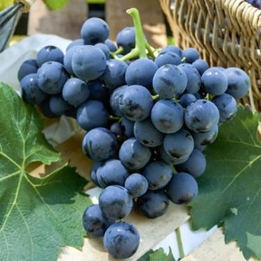 Pianta di uva alfonso lavall il sorbo vivai di antonio - Vivai rauscedo uva da tavola ...