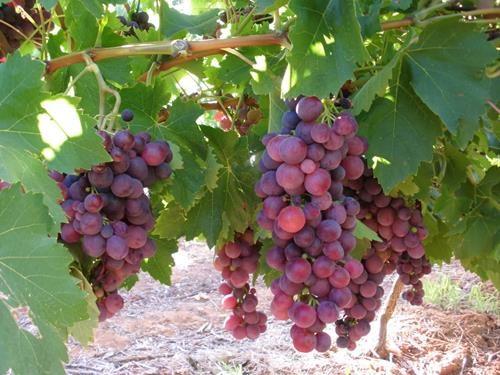 Pianta di uva cardinal < vitis vinifera > online vivai il sorbo