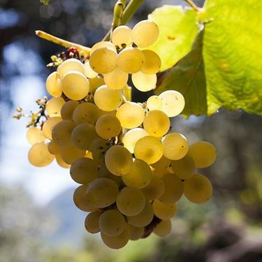 Pianta di uva fragola bianca online il sorbo