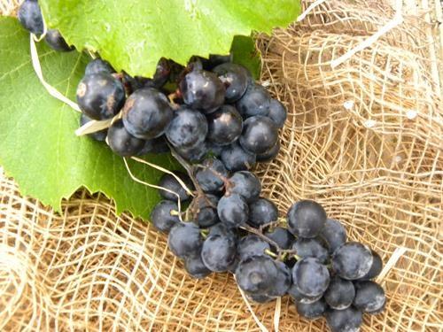 Pianta di uva fragola nera online il sorbo
