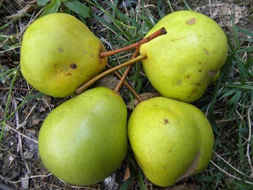 Pianta di pera garofano online