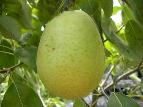 Pianta di pera luglia online