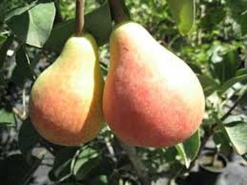 Pianta di pera san piero online