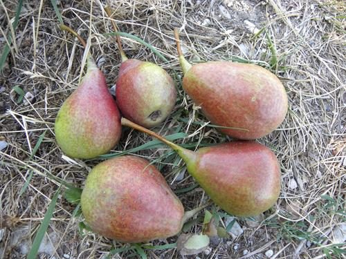 Pianta di pera giardino online