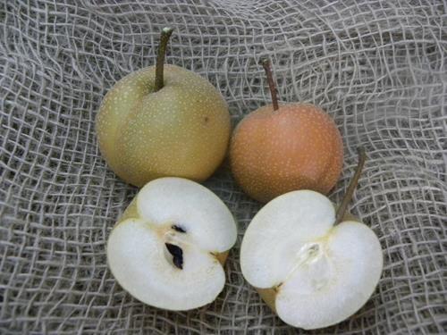 Pianta di pera nashi hosui online