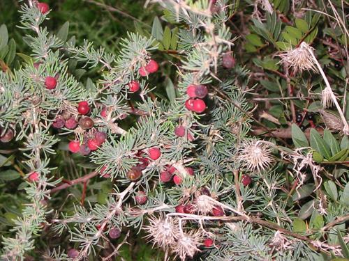 Vivai Rosso Antonio : Pianta di juniperus oxicedrus u003c ginepro rosso u003e il sorbo vivai di