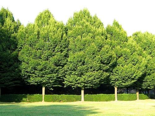 Pianta di carpinus betulus > carpino bianco > online il sorbo