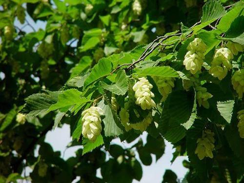 Pianta di carpins betulus > carpino bianco > online il sorbo