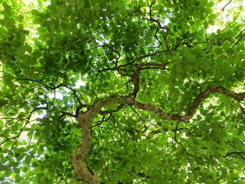 Pianta di fagus sylvatica online il sorbo archivi il for Chioma albero