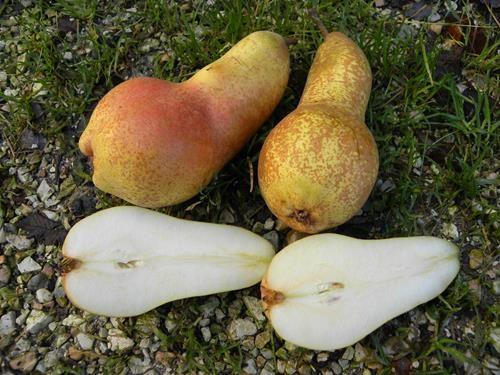 Pianta di pera abate fetel online il sorbo