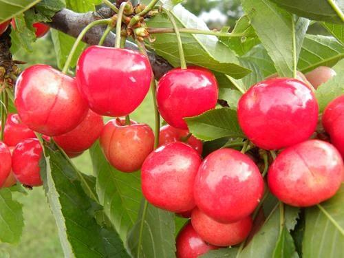 Pianta di ciliegia bigarreau napoleon online il sorbo