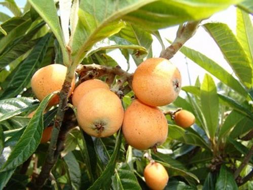 Pianta di nespolo giapponese < eriobotrya japonica > online vivai il sorbo